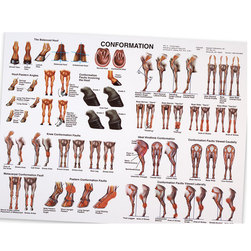 Conformation Anatomy Chart
