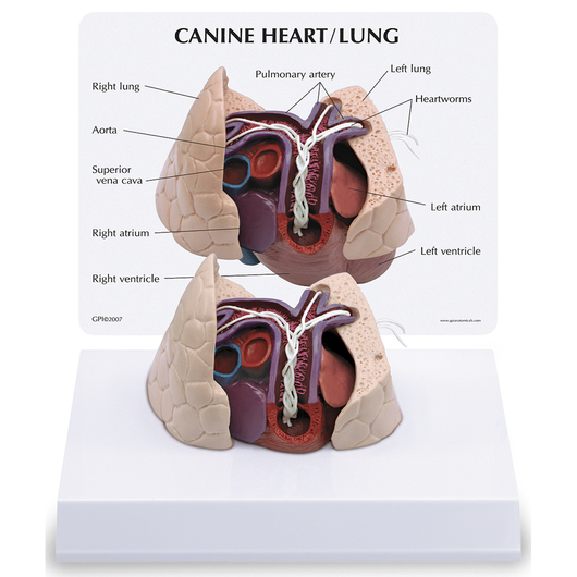 Canine Heart/Lung Model