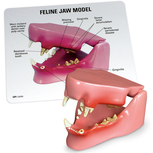 Feline Healthy/Diseased Jaw Model