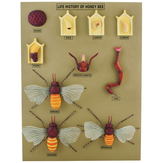 Life Cycle of the Honey Bee Model - 24 x 18 x 2