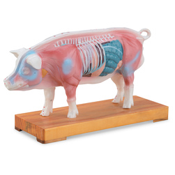 Acupuncture Models - Pig