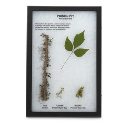 Poison Ivy Plant and Leaf Display Mount