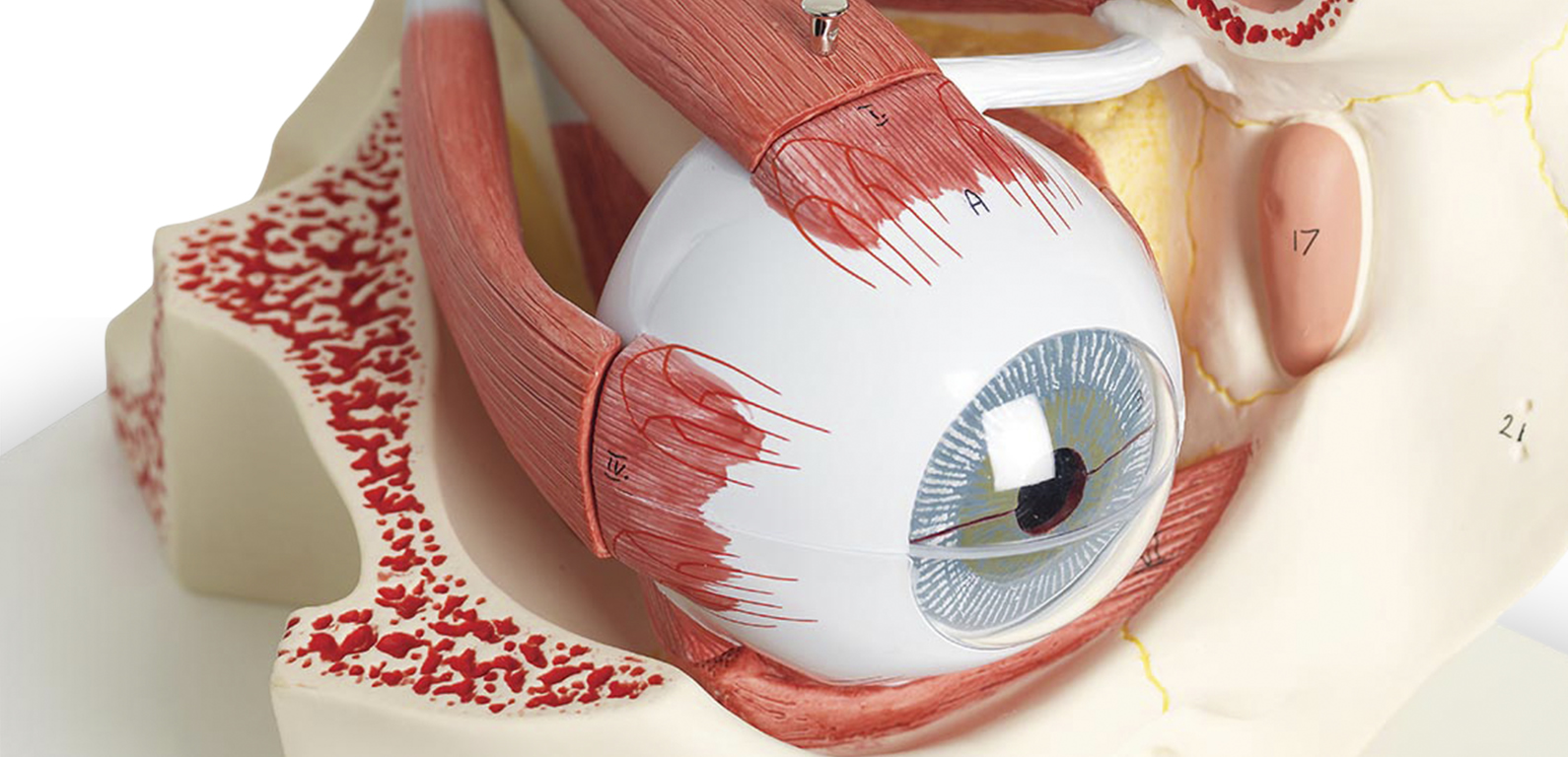 Eye-Model-Healthcare-Education-795x384.jpg