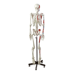 Human Muscular Skeleton - 5-1/2 ft. H