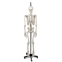 Hanging Skeleton with Natural Human Casting
