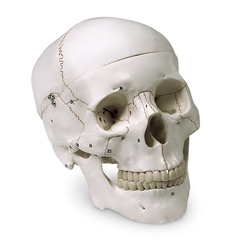 Numbered Human Skull Model