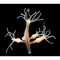 Hydra, Brown, Live Specimen