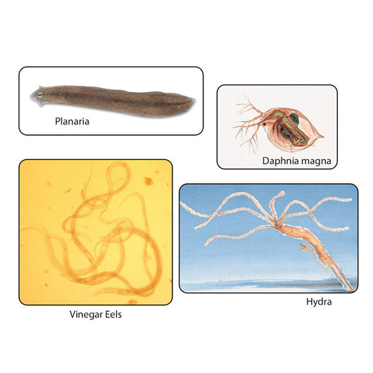 Invertebrate Culture Set - for Class of 120, Live Specimen