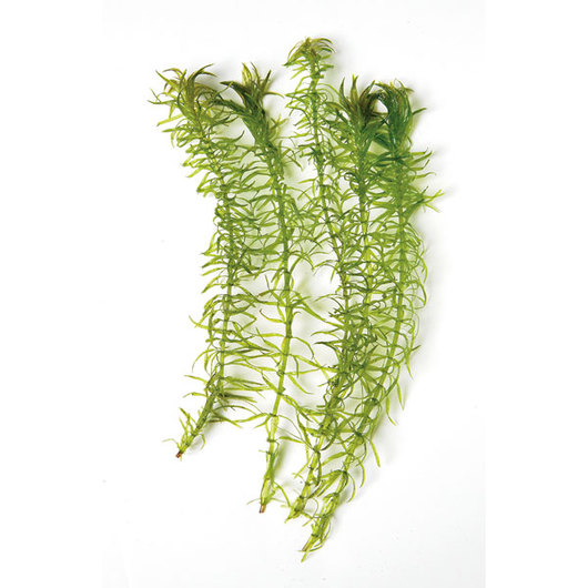 <i>Egeria najas</i> (Narrow-leaf <i>Anacharis</i>) - Unit of 10, Live Specimen