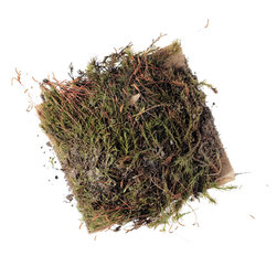 Moss Patch (Polytrichum or similar moss), Live Specimen