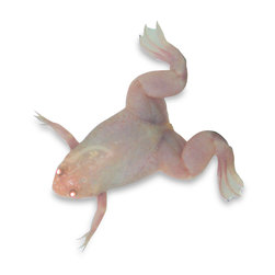 Oocyte Positive Albino Female Frogs: Xenopus  laevis, Live Specimen