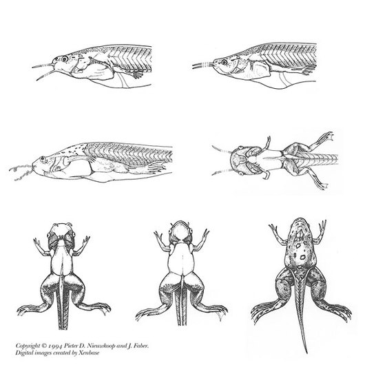 Stages 56 to 63 Tadpoles: Xenopus tropicalis, Live Specimen