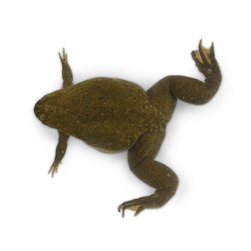Frog: Xenopus tropicalis, Mature, over 6 months, Live Specimen