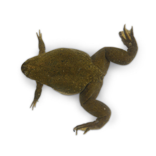 Frog: Mature Male (over 6 months) Xenopus tropicalis, Live Specimen