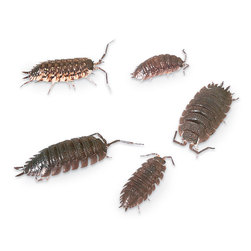 Pillbugs and Sowbugs, Live Specimen