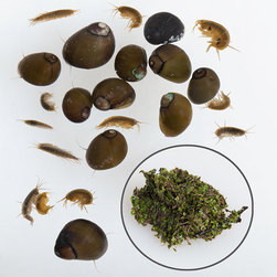 Gammarus, Duckweed, and Pond Snails, Live Specimen