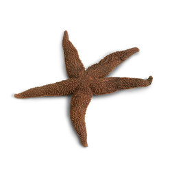 Sea Star (Starfish) (Asterias), Preserved, Plain