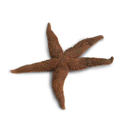 Starfish (<em>Asterias</em>) - Size: 6 in.-8 in., Plain - Preserved