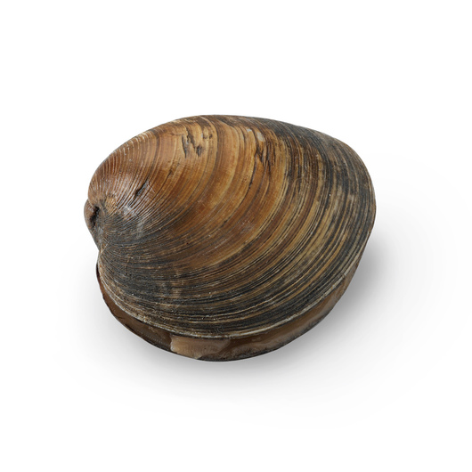 Freshwater Clams (Unio or Anodonta) - Size: 4 in.-5 in. Preserved