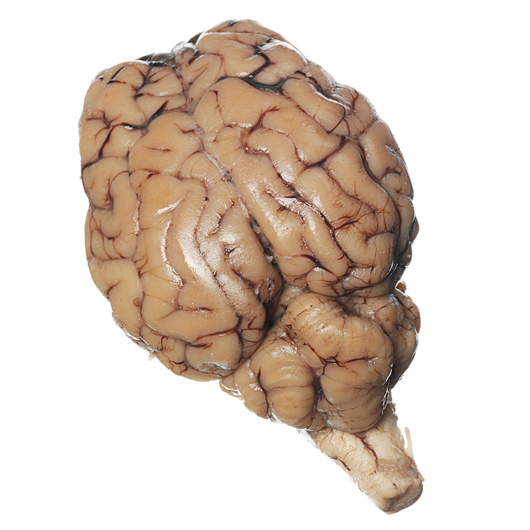 Sheep Organ - Brain, with Cranial Nerve Roots, Preserved