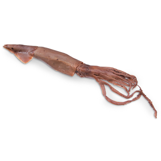 Squid (Loligo) - Size: 12 in.-16 in., Double Injection, Preserved