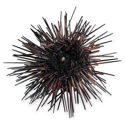 Purple Sea Urchin Arbacia, Preserved