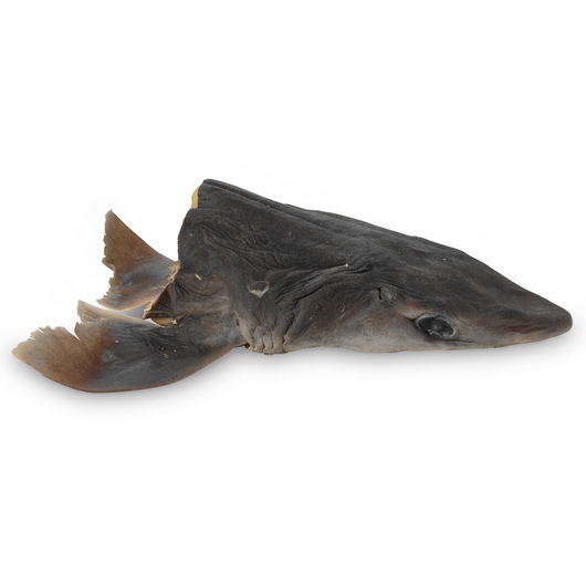 Dogfish Shark (Squalus) - Head, Long Cut, Preserved