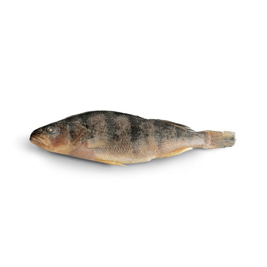 Yellow Perch (Perca flavescens) - Size: 7 in.+, Injection: Plain, Preserved
