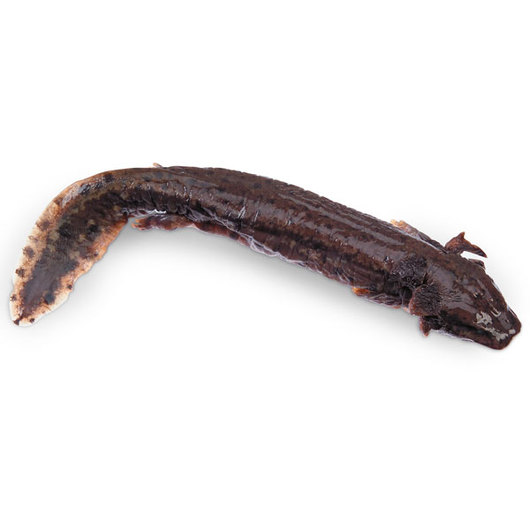 Mud Puppy (Necturus maculosus) - Size: 10 in.-14 in., Injection: Single, Preserved