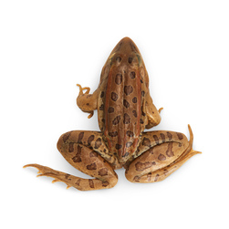 Grass Frogs (Rana sp.) - Size: 3 in.-4 in., Injection: Plain, Preserved