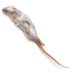 Mouse, Plain, Preserved, Preserved