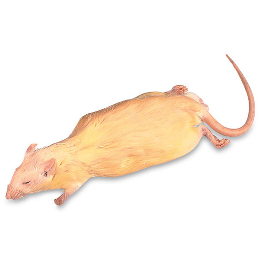 Rat - 7 in.-9 in. Injection: Plain, Preserved