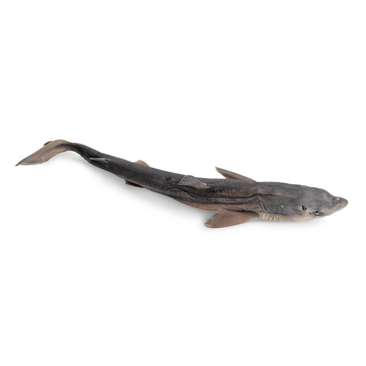 Dogfish Shark (Squalus) - Size: 22 in.-27 in., Injection: Double, Preserved