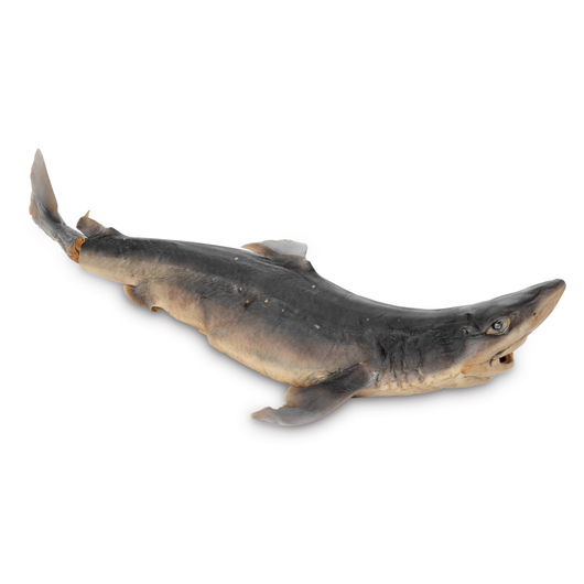 Dogfish Shark (Squalus) - Size: Adult, Injection: Double, Pregnant, Preserved