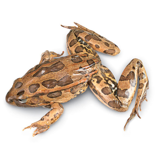 Grass Frogs (Rana sp.) - Size: 4 in.- 4-1/2 in., Injection: Double, Preserved