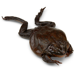 Bullfrogs Rana sp., 6 in. to 7 in., Preserved