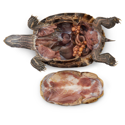 Preserved Turtle - Size: 8 in.-10 in., Plain, Preserved
