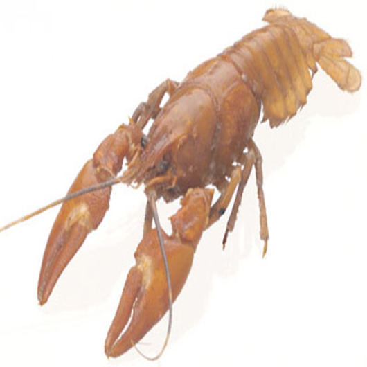 Crayfish (Cambarus) - Size: 3 in.-4 in., Injection: Plain, Preserved