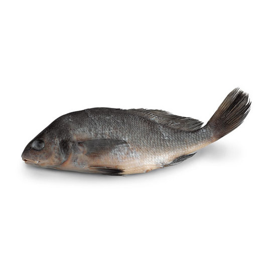 Freshwater Drum (Aplodinotus grunniens) - Size: 9 in.-12 in., Injection: Plain, Preserved