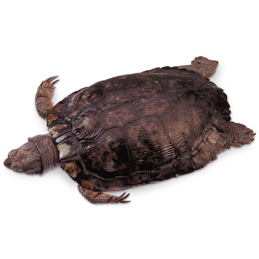 Preserved Turtle - Size: 6 in.-8 in., Injection: Double, Preserved