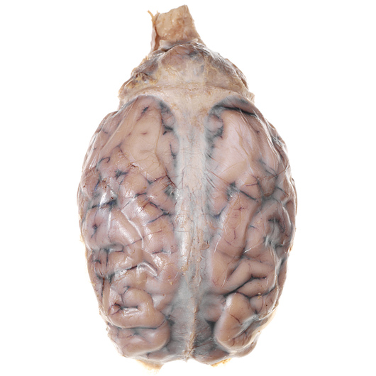 Sheep Organ - Brain, with Dura Mater, Preserved