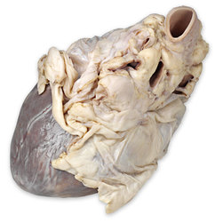 Pig Organ - Heart in Pericardium, Preserved