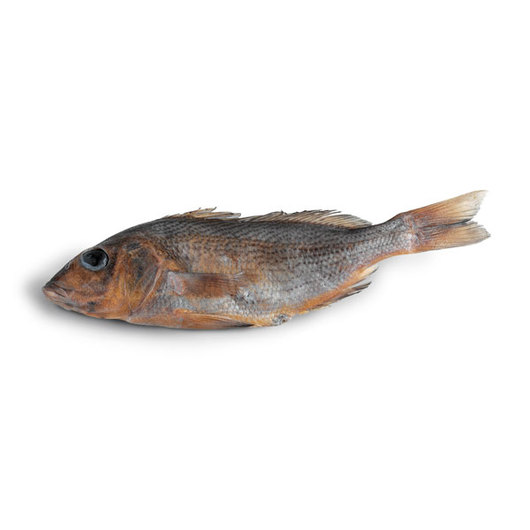 Grey Perch (Pomadasys macracanthus) - Size: 5 in.-7 in., Injection: Plain, Preserved