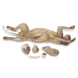 Nasco Cat Anatomy and Mammalian Organ Study, Preserved