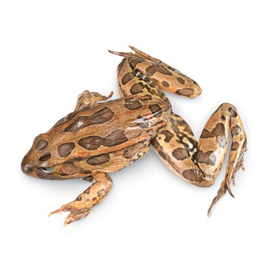 Grass Frogs (Rana sp.) - Size: 4-1/2 in.- 5-1/2 in., Injection: Double, Preserved