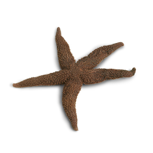 Sea Star (Starfish) (Asterias) 8 in.+, Plain, Preserved