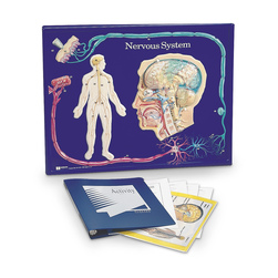 Nervous System 3 D Model Activity Set