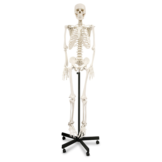 Human Skeleton - 5 ft. 7 in.