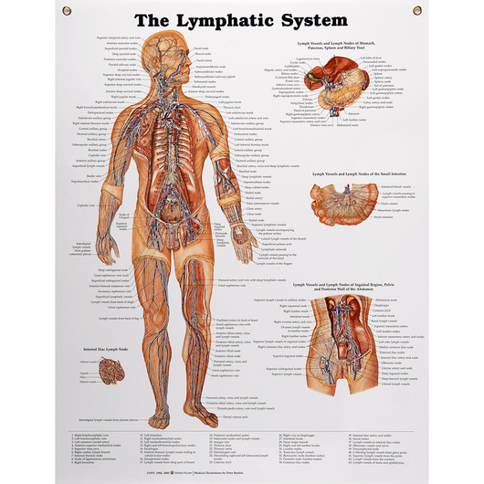 Peter Bachin Anatomical Chart Series - Lymphatic System