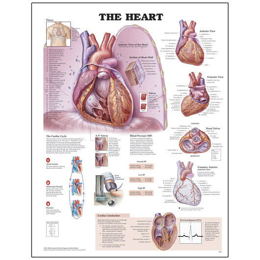 Peter Bachin Anatomical Organ/Structures Chart Series - Heart